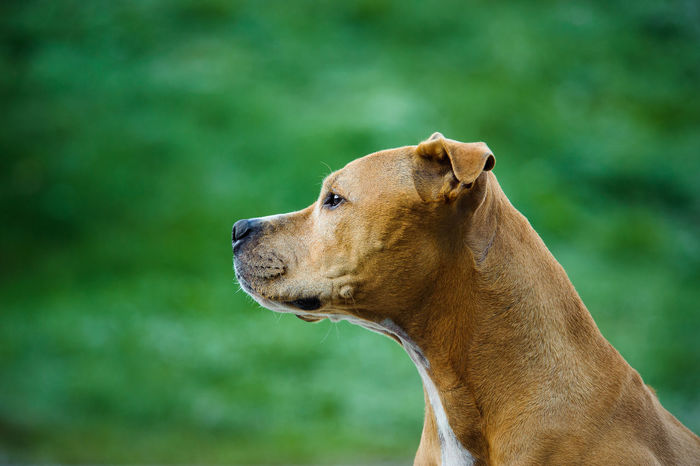 American Pit Bull Terrier dog American Pit Bull Terrier Apbt Breed Specific Legistlation, Day Dog Dog, Grass No People Pit Pit Bull Pitbull Portrait