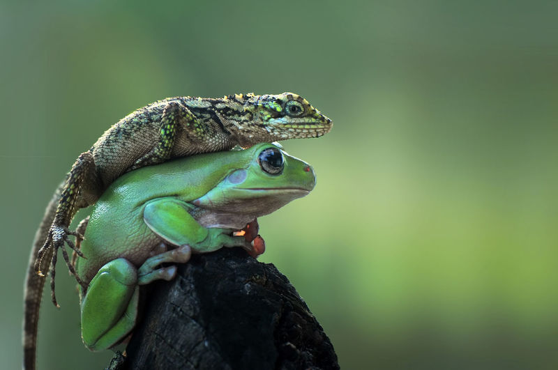 Close-up of lizard on frog