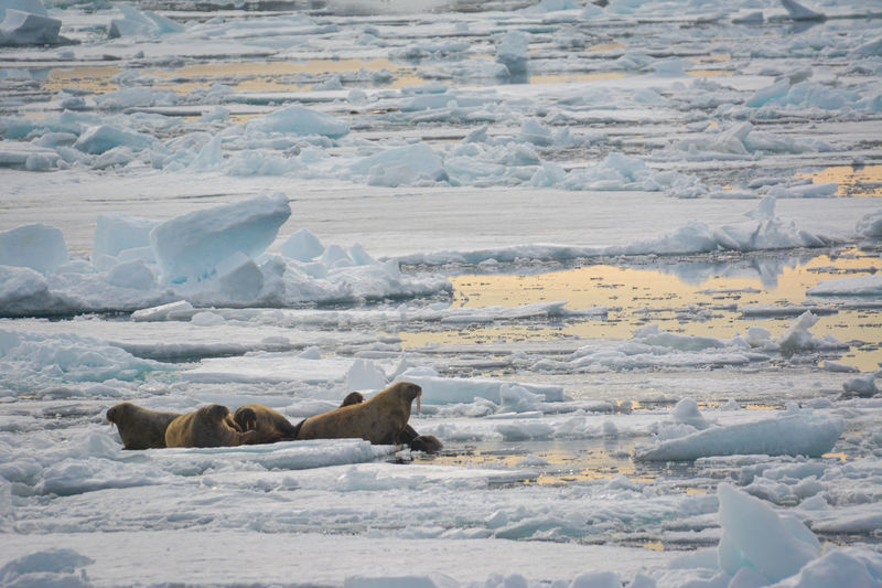 Walrus on ice pack at arctic sunset Cold Temperature Snow Animal Wildlife Ice Animals In The Wild Animal Themes Mammal Day Animal Environment Landscape Nature No People Frozen Beauty In Nature Water Lying Down Walrus Melting Ice Global Warming Arctic Arctic Circle