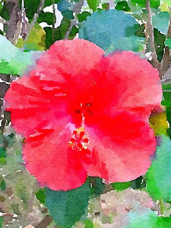 Hibiscus Watercolor Flower Nature Red Fragility Growth Petal Beauty In Nature Freshness Plant Close-up Outdoors Flower Head Pink Color No People Day Painters Painter - Artist Multitalented Beauty In Nature This Week On Eyeem Fresh On Eyeem  Painting Photography To Paint Eyeem Painters EyeEm
