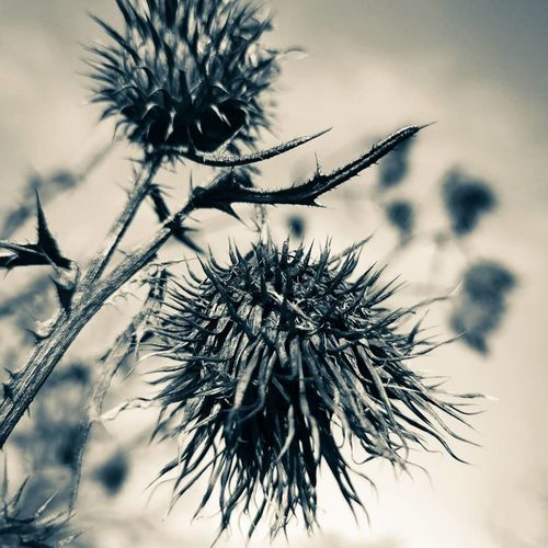 burdock Photography Nature Blackandwhite Photoofday Beauty In Nature Black And White Burdock Burdock Herb Burdocks Close-up Close Up Macro Macro Photography Macro Collection Huaweiphotography Thistle Sky Close-up Plant Flower Head