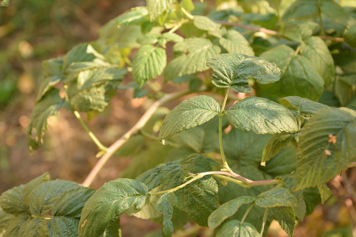 Branches and leaves of wild raspberry in autumn Plant Plant Part Growth Leaf Green Color Close-up Beauty In Nature Nature Focus On Foreground Day No People Freshness Outdoors Selective Focus Botany Fragility Vulnerability  Leaves Raspberry Rubus