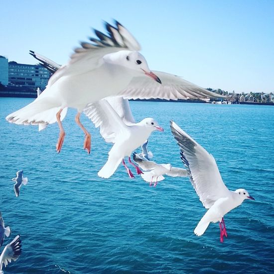 Animal Themes Bird Clear Sky Flying Outdoors Sea Seagull Spread Wings Water