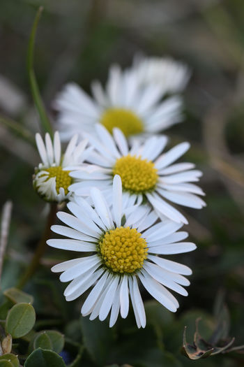 The Daisy Flower Flowering Plant Fragility Vulnerability  Plant Petal Beauty In Nature Freshness Flower Head Growth Inflorescence Close-up White Color Focus On Foreground Daisy Day Nature Pollen Yellow No People