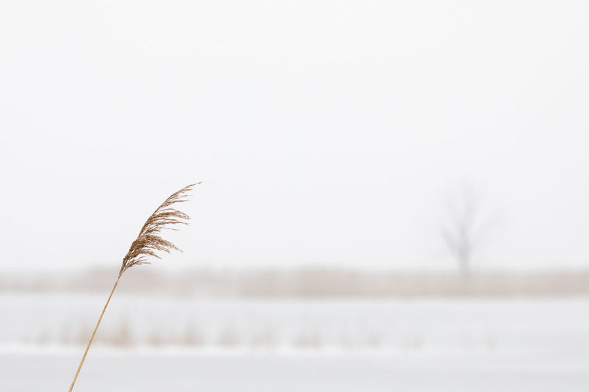 High section of reed straw in winter in frozen landscape Bare Tree Beauty In Nature Close-up Cold Temperature Flat Focus On Foreground Fog Frozen Ice Lake Landscape Nature Nature Reserve No People Outdoors Reed - Grass Family Rural Scene Scenics Selective Focus Sky Tranquil Scene Water Weather White Color Wilted Plant