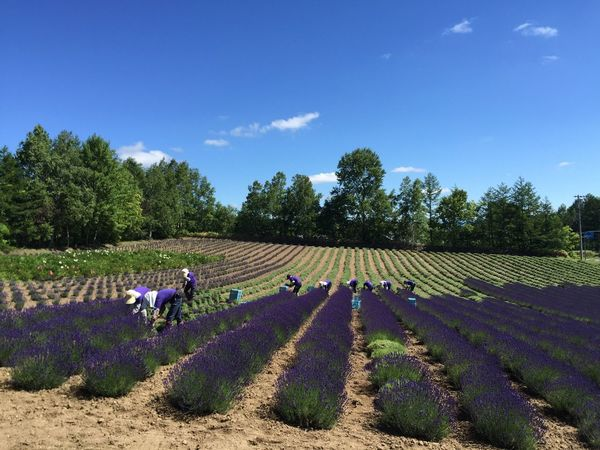 Nature_collection Lavender Harvesting Hokkaido,Japan Travel