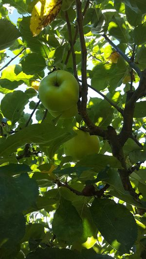 Tree Green Nature Leaf Outdoors Apples Apple Tree Outside Summer Garden Picking Apples
