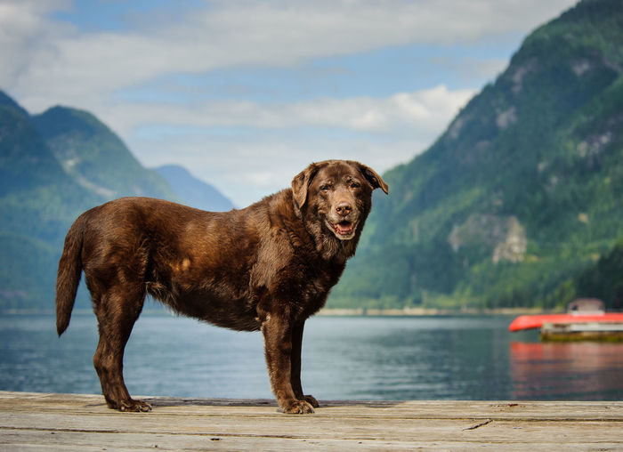 Portrait of chocolate labrador against lake and mountains