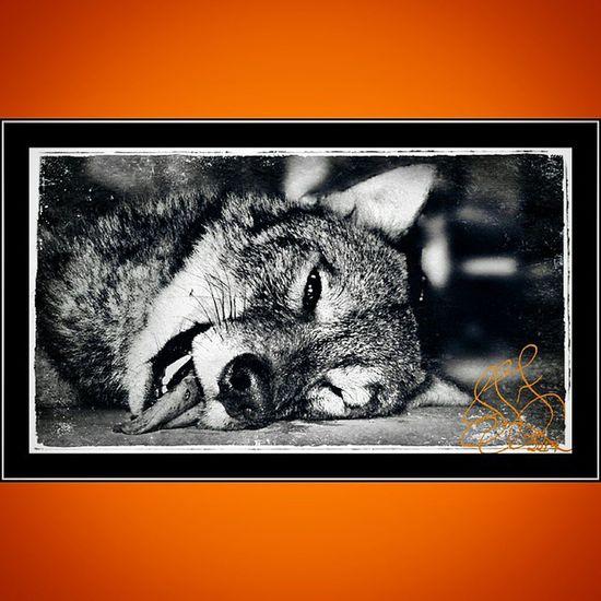 Squareinstapic Leupold Ar15 Vx3 Coyotehunting Songdogdown Dpms 223 Predatorinstinct Predatorhunter