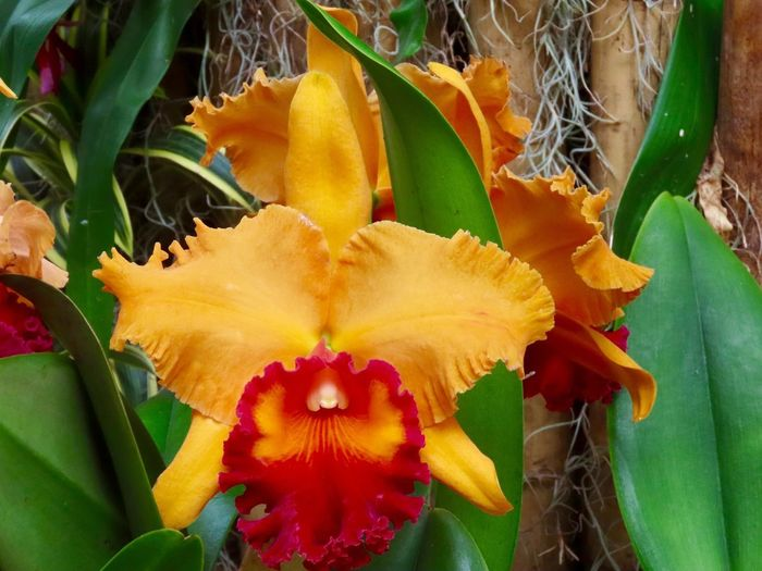 Orchid flowering plant red and yellow petals green leaves beauty in nature close up EyeEm nature lover orchid sow at the Botanical Gardens