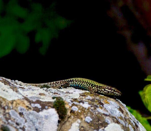 Fence lizard. In the garden. 12419180