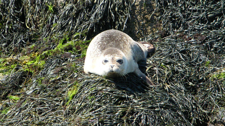 Animal Themes Animal Wildlife Animals In The Wild Close-up Common Seal Day Dunvegan Isle Of Skye Loch Dunvegan Mammal Nature No People One Animal Outdoors Scotland Seal Seal On The Rock Seal On The Shoreline Seals On Rocks Seal Pup Sea Life