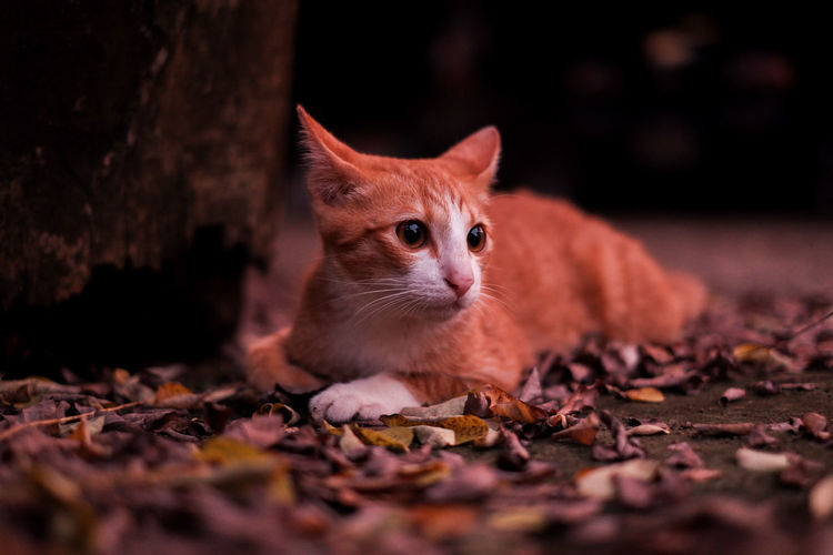 Close-up of cat on dry leaves during autumn
