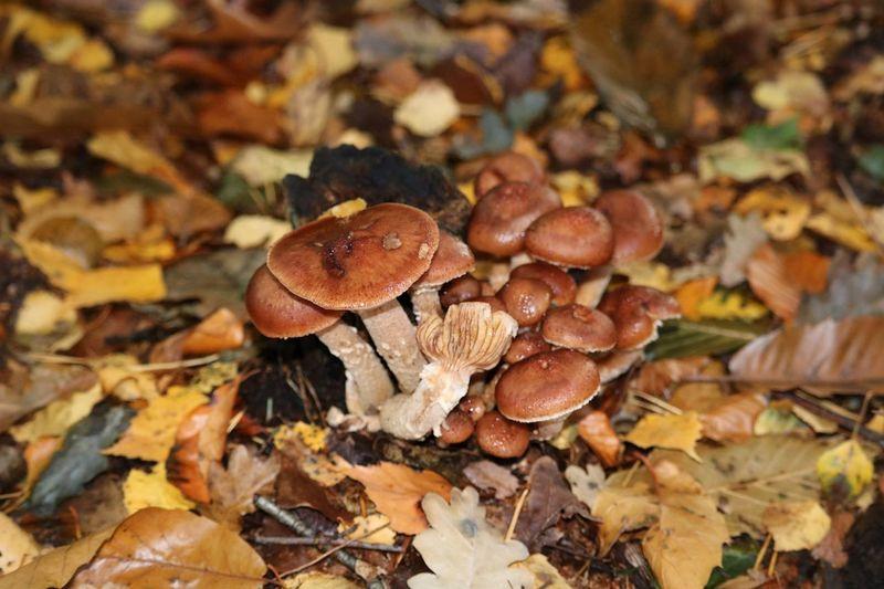 Bos Outside Toadstool Fungus Mushroom Autumn Leaf Close-up