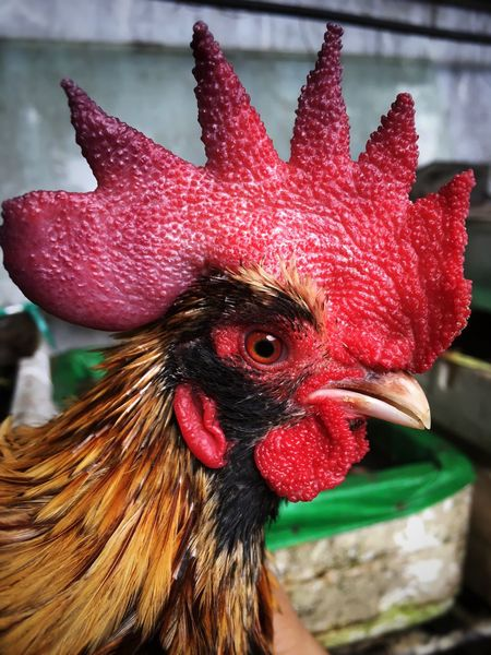 Bearded Serama Bantam Livestock Chicken - Bird Rooster Domestic Animals Cockerel Hen Animal Crest Agriculture Animal Themes Poultry Close-up Farm One Animal Bird Red Focus On Foreground Outdoors No People Nature Rural Scene Bantam Rooster Roosters Grey