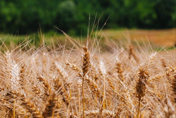 Close-up of wheat growing on farm