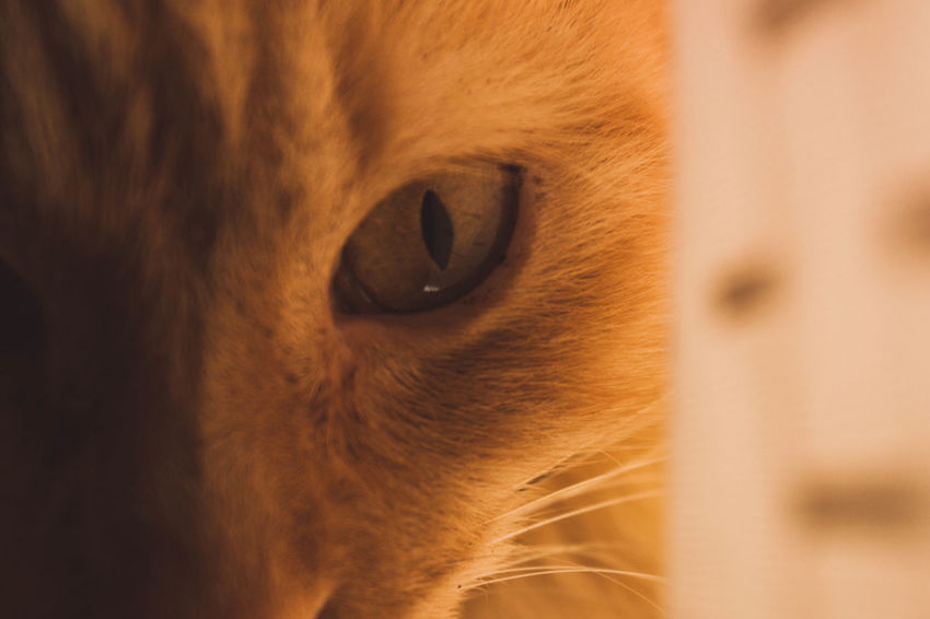 Pets One Animal Domestic Cat Domestic Animals Animal Eye Portrait Animal Themes Eye Looking At Camera Animal Body Part Close-up Feline Mammal Animal Head  No People Beauty Indoors  Day Nature Eyelash EyeEmNewHere Cats Of EyeEm Cat Lovers Cat Animal
