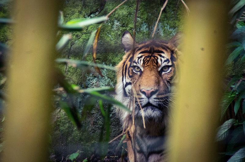 Tiger At Edinburgh Zoo