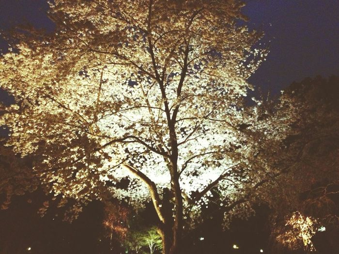 Cherry Blossoms Cherry Tree Night Photography Nightlights