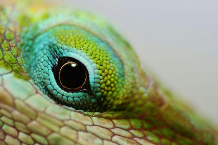 Pets Corner Pets Pet Macro Pet Photography  Reptile Anolis