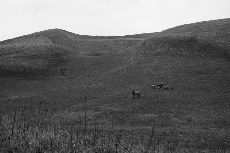 35mm Film Analogue Photography Beauty In Nature Blackandwhite Day Domestic Animals Field Grass Hill Horse Landscape Livestock Nature No People Outdoors Pig Scenics