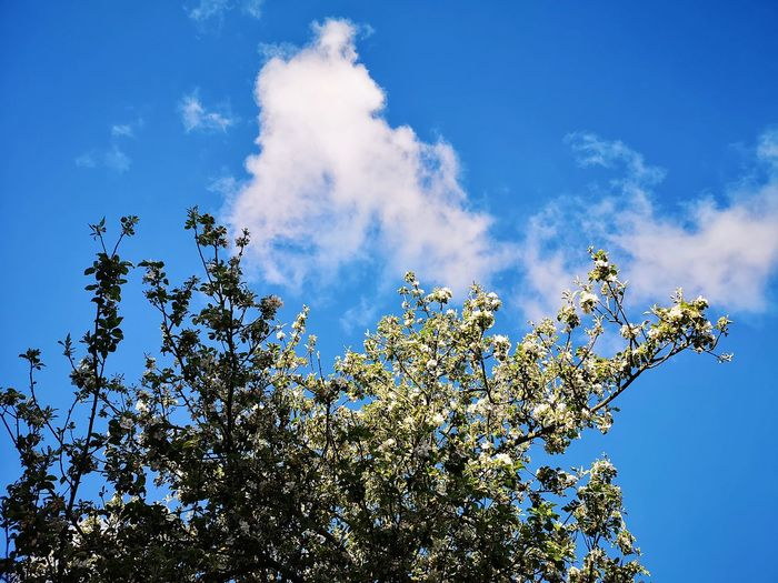 Adam, bald gibt es Äpfel Apple Blossom Blue Sky Spring Appletree Blue Motion Sky Blooming