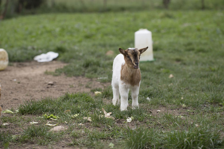 African pygmy goat African Pygmy Goat Asturias Baby Farm Goat Rural SPAIN Animal Themes Background Cute Day Domestic Animals Mammal Nature No People No People, Outdoors Pillarno Portrait Pygmy Goat Village West African Dwarf Goat