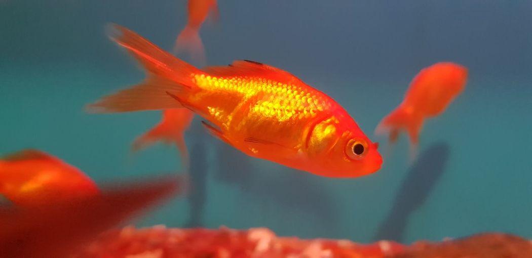 goldiee Fish
