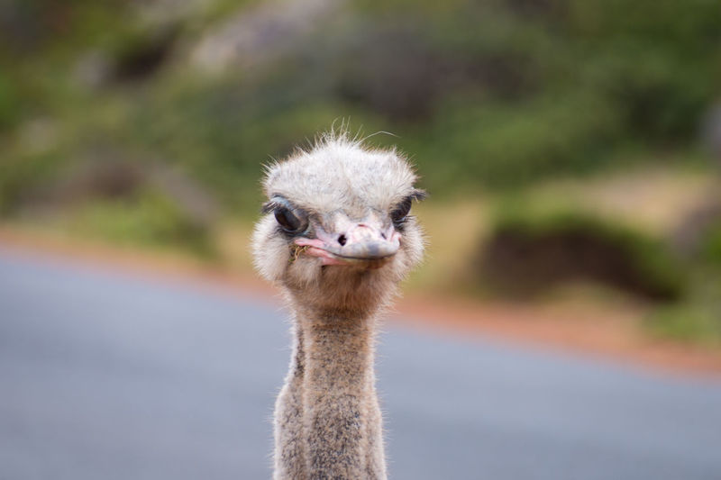 Close up of an ostrich head portrait struthio camelus in south africa