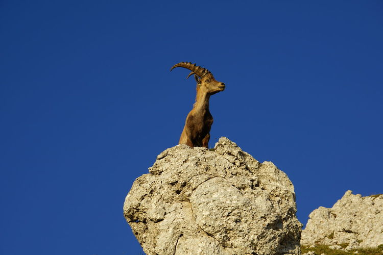 Alpine ibex Alpine Ibex Ibex Blue Solid Rock Rock - Object Sky Low Angle View Clear Sky One Animal Animal Themes Animal Animal Wildlife Animals In The Wild Nature No People Copy Space Day Vertebrate Rock Formation Sunlight Outdoors Arid Climate Herbivorous Tyrol Austria