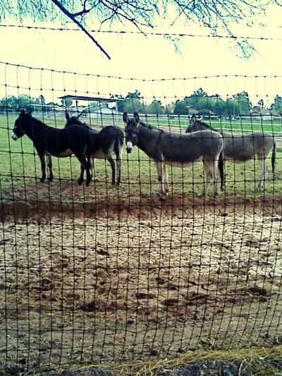 Glendale, Arizona Check This Out Hello World Taking Photos Enjoying Life Donkeys Mules Animals Living Things