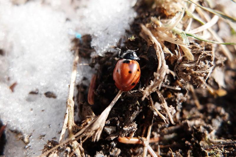 Animal Themes Animal Wildlife Animals In The Wild Close-up Day Ice Ladybug Nature No People One Animal Outdoors Snow Sunlight