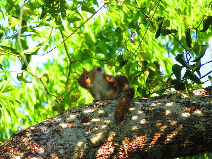 Cute Squirrel (in pools of sunlight) Animals Squirrel Squirrel Closeup Nature Tropical Tree Branches Tree Branch Leaf Squirrel Animal Themes Green Color Wildlife
