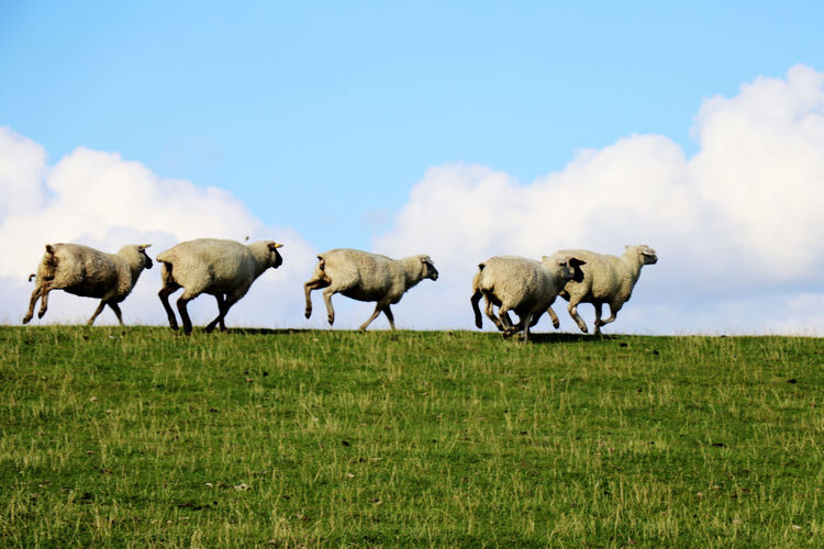 Sheep running on a green grass hill - clouds in background