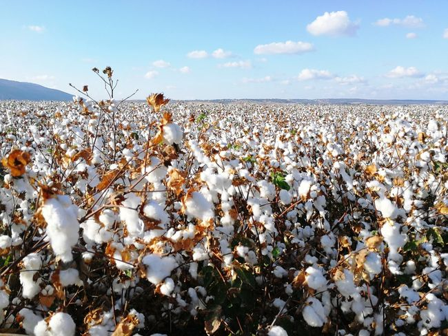 Cotton field in Israel Cotton Field Israel Izrael Vally Cloud - Sky Beauty In Nature Nature