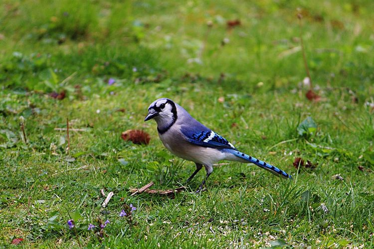 Close-up of blue jay on grassy field