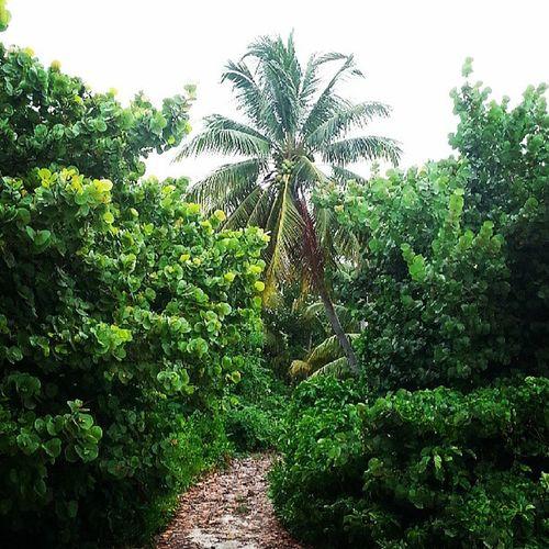 Secret Island path! Path Paradise Island Islandnature caymannature caymanbeauty caymanflora caymanbrac palmtree