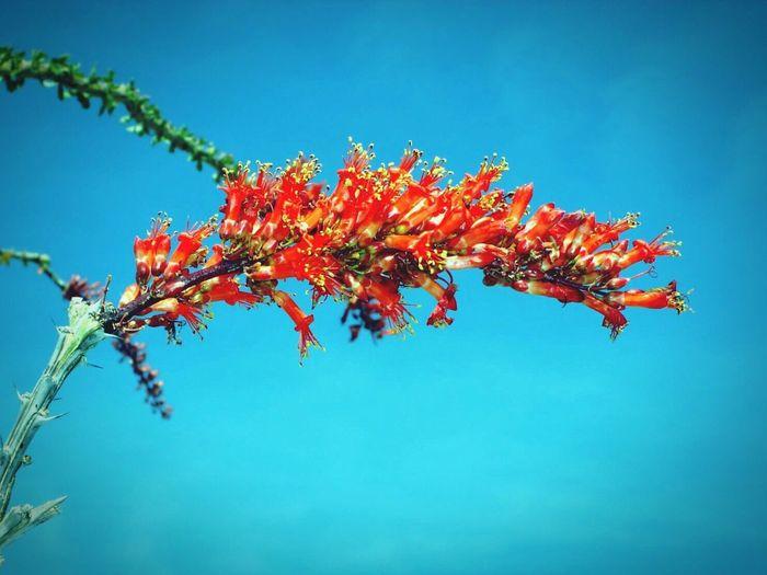 Ocotillo Cactus Flower Desert Beauty Desert Landscape Desert Plants Nature