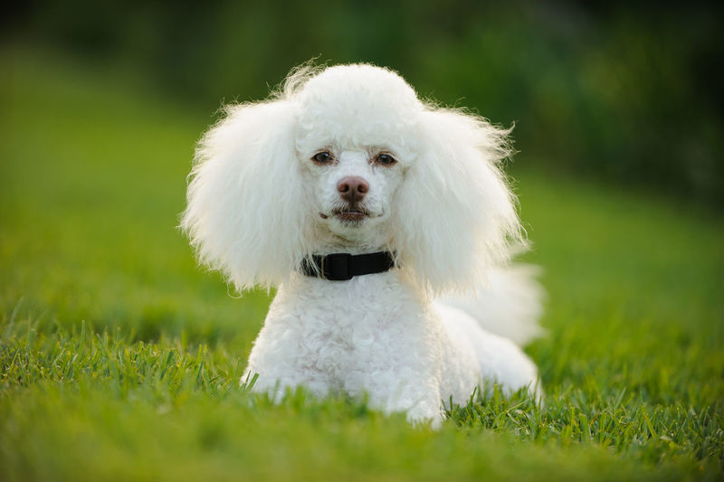 White Miniature Poodle dog Groomed Horizontal Poodle Animal Themes Close-up Day Dog Domestic Animals Grass Green Color Mammal Miniature Miniature Poodle Nature No People One Animal Outdoors Outside Park Pets Portrait White White Color