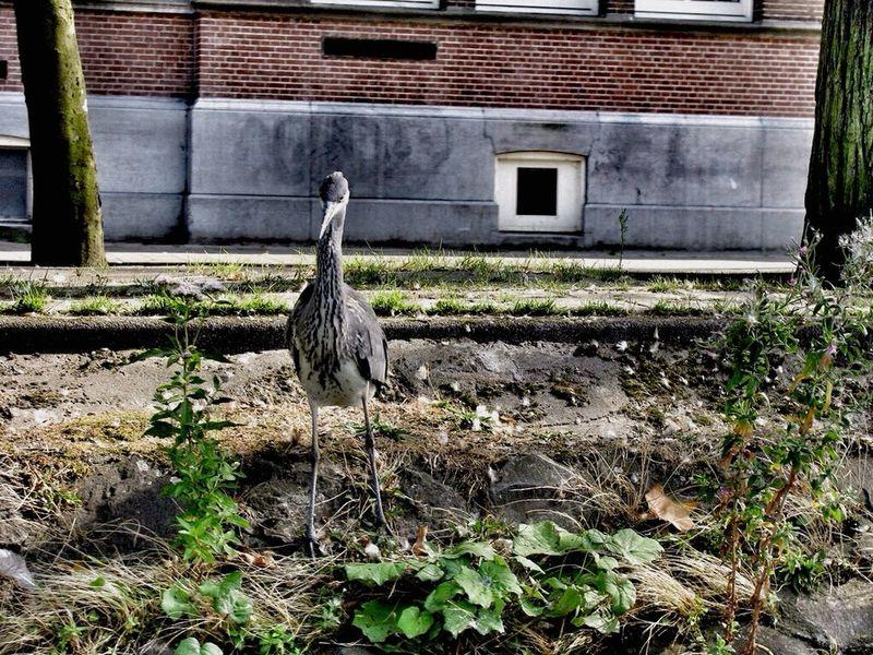 Urban 4 Filter Amsterdam Urban Urban Nature Canal Canals Dutch Canals Reiger Heron Herons