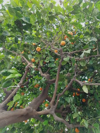 Green Color Growth No People Tree Nature High Angle View Leaf Full Frame Outdoors Day Backgrounds Branch Beauty In Nature Close-up Orange Fruits Orange Tree Freshness Fresh Fruits Fruit Tree Green And Orange Summer Tree EyeEmNewHere