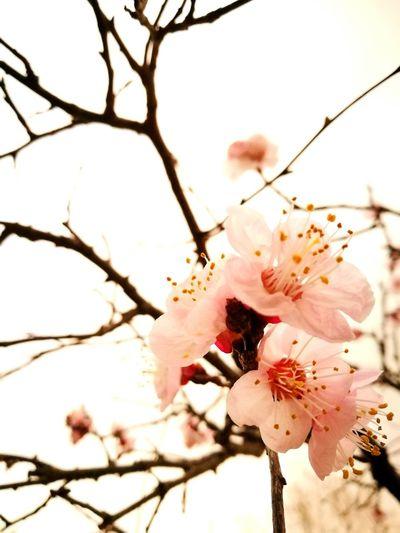 Apricot bonsai