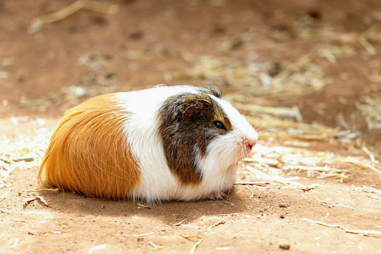 Close-up of guinea pig on field