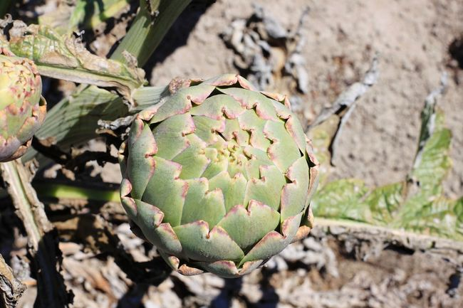 Day Nature No People Outdoors Close-up Fruit Prickly Pear Cactus Food Artichoke Freshness Edible Flowers Edible  Flower Head Agriculture Food Plant EyeEm Best Shots - Landscape Field Landscape Eat Me Strange Close Up Closed Northern California