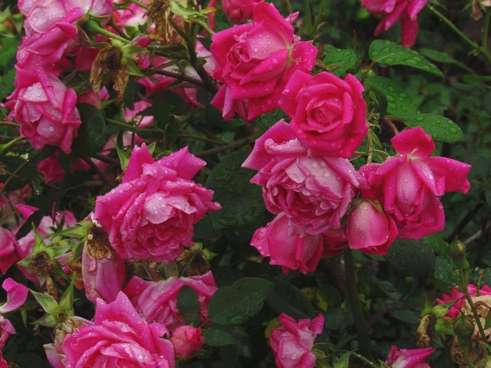 Pink Color Flower Nature Beauty In Nature No People Plant Growth Flower Head Outdoors Fragility Close-up Freshness Roses Roses🌹 Rose Garden EyeEm Nature Lover Michigan, USA The Week On EyeEm