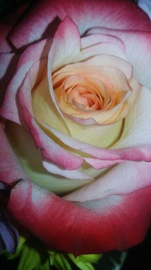 Roses Flower Flower Petal Rose Petals Pink And White Flower Pink Rose White Rose 😚