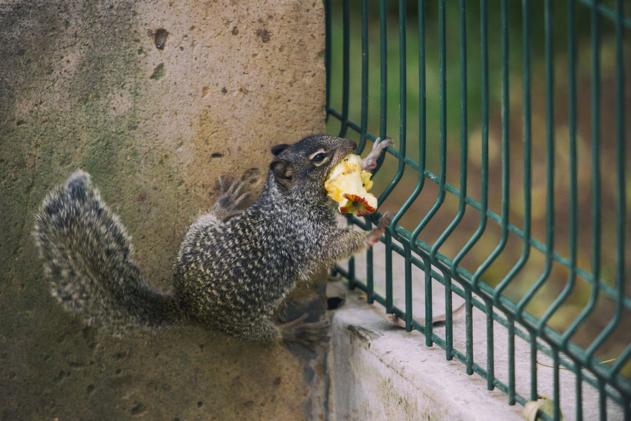 A Mexican gray squirrel (Sciurus aureogaster) try to take the remains of an apple through a grate. Sciurus Aureogaster Animal Themes Animal Wildlife Animals In Captivity Animals In The Wild Close-up Day Eating Mammal Nature No People One Animal Outdoors