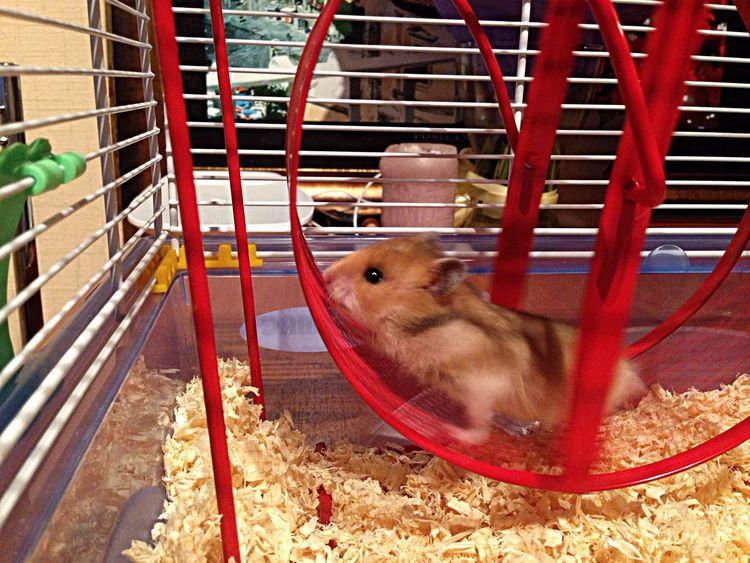 Syrian Hamster  Hamster My Little Friend