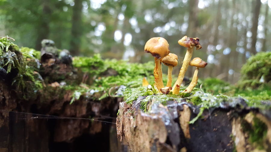 Close-up of mushrooms growing on wood in forest