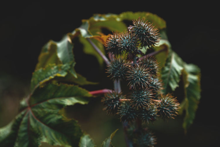 Castorbean Australia New Seed Botanical Bunch Castorbean Circle Of Life💫 Close-up Dark Colors Focus On Foreground Growth Leaf Nature Natures Cycle Oil Plant Ornamental Plant Outdoors Plant Ricinus Selective Focus Spike Spiked Spiky Ball Spiky Se Transformation